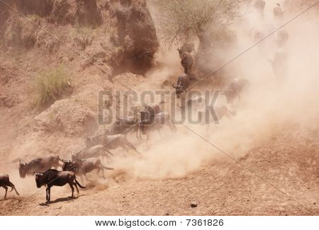 Herd of Blue Wildebeest (Connochaetes taurinus) crossing the valley in nature reserve in South Africa poster