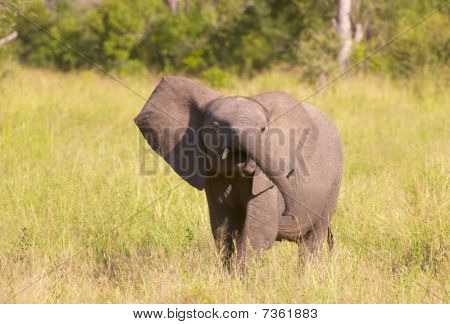 Small Elephant Calf In Savannah