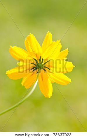 Yellow Cosmos Flower.