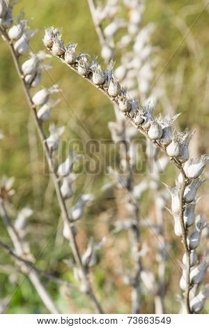 Natural Background. Closeup Of Dry Steppe Harebell In Autumn