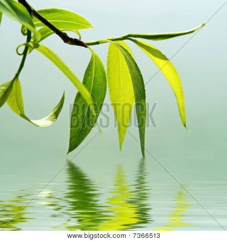 Fresh Green Leaves Reflected In Water