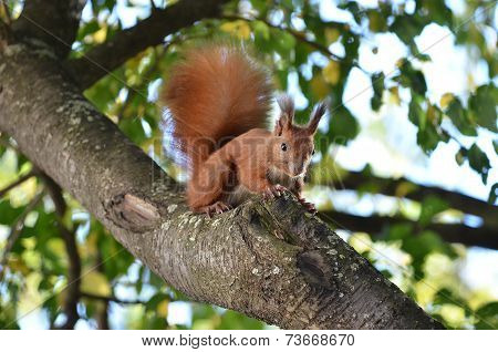 Squirrel searching for nuts on the branch into the forest poster