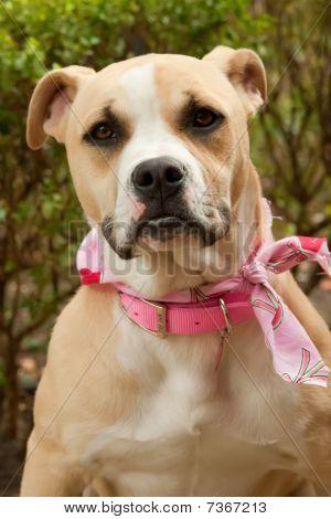 Dog Boxer Pitbull mix