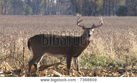 Whitetail buck in picked cornfield
