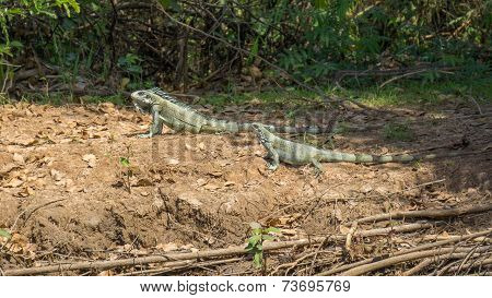 Iguanas couple in riverbank of Brazilian Pantanal