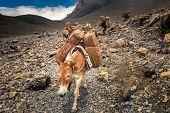 Donkey caravan in Nepal - Annapurna trekking poster