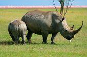 Rhinoceros in the wild. Africa. Kenya. Lake Nakuru poster