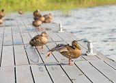 Mallard duck stretching its wing and orange webbed foot on a wooden platform poster