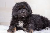 little security guard - black and red puppy of Tibetan mastiff sitting on snow poster