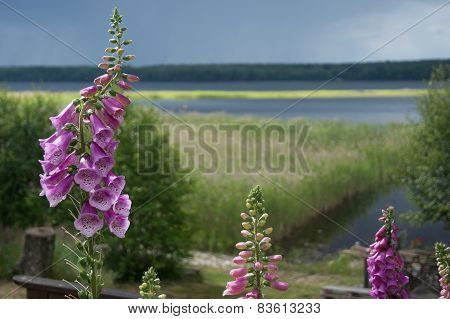 Foxglove with lake view