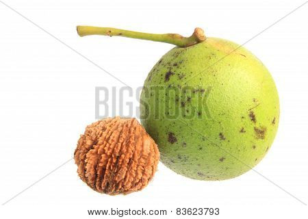 Black walnut (Juglans nigra) isolated in front of white background poster