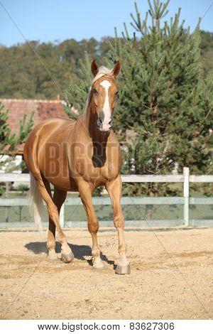 Amazing Palomino Warmblood Running