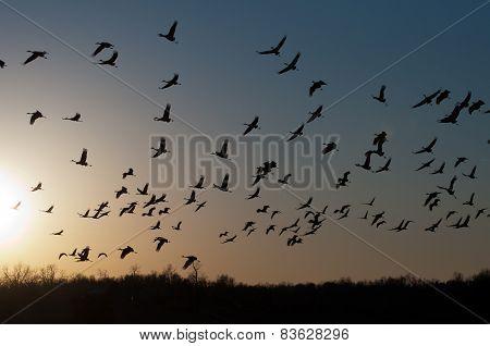 Sandhill cranes at dusk