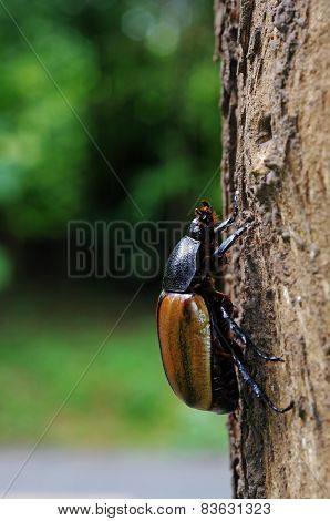 female Five Horned Beetle