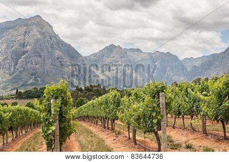 View Of Vineyards Near Stellenbosch