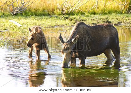 Cow moose with a calf feeding in a pond in Wyoming at sunrise poster