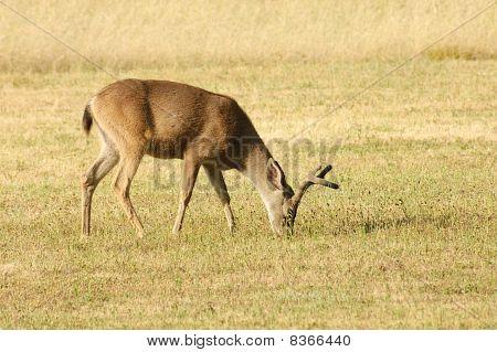 Blacktailed Deer