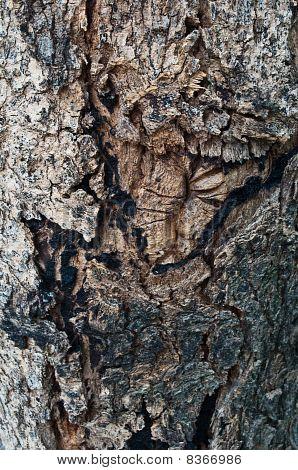 Texture of bark tree