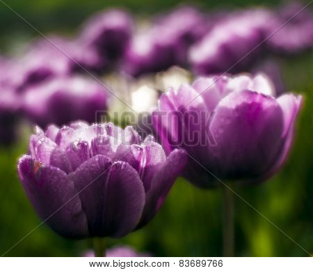 Lilaceous Tulips