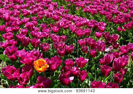 One yellow orange tulip among violet ones