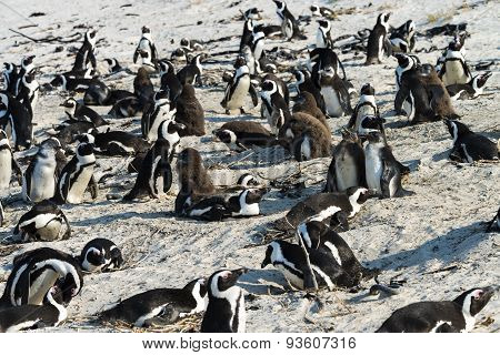 African Penguins (Spheniscus Demersus) at Boulders Beach (South Africa) poster