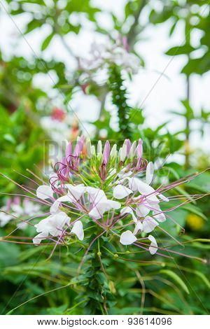 Pink Flowers With Whiskers in garden of Thailand poster