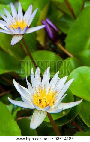 Blooming Lotus Flower In The Garden