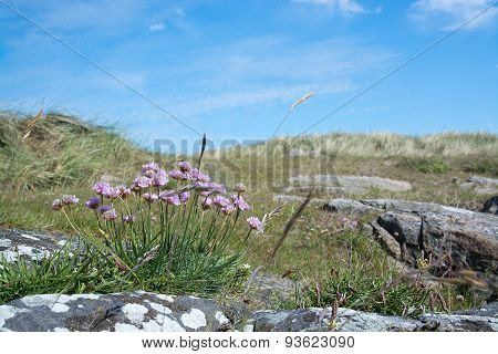 Seaside heath with pink thrift flowers
