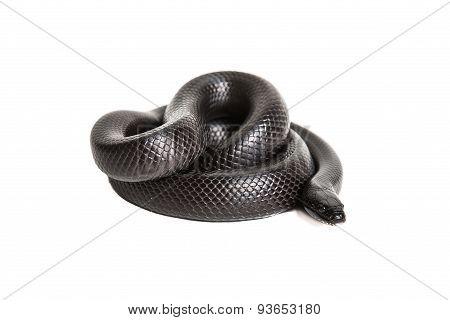 Black kingsnake
