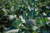 Mature Broccoli or Brassica oleracea plant in the field ready for harvesting. Broccoli is high in vitamin C and dietary fiber. It also contains multiple nutrients with potent anti-cancer properties. poster