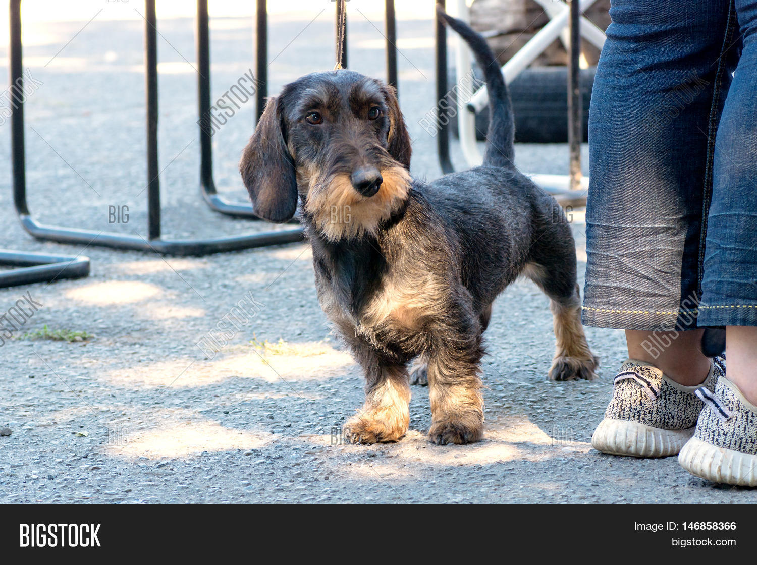 Dog - Wirehaired Image & Photo (Free Trial) | Bigstock