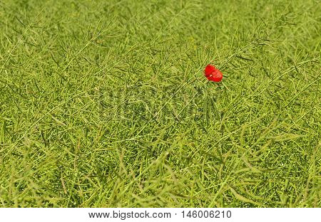 Lonely blossoming poppy among a field of ripening rape-seeds