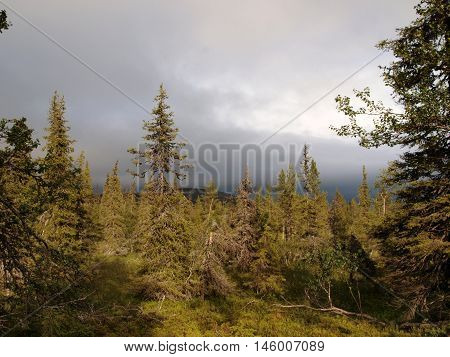 Boreal forest above arctic circle in Lapland