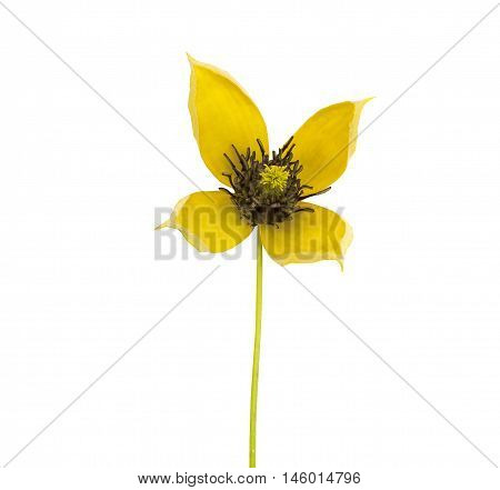 Close up of small yellow Clematis on a white background
