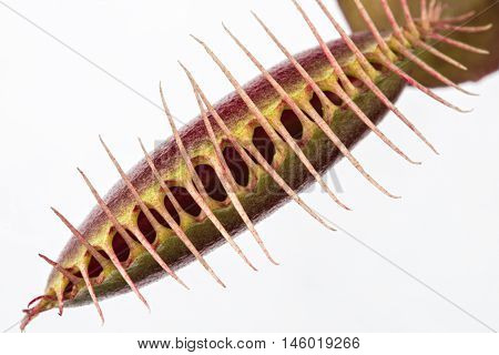 Macro of a tightly closed insectivorous venus fly trap (Dionaea muscipula) on a white background