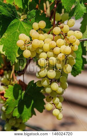 Ripe Grapes With Green Leaves.