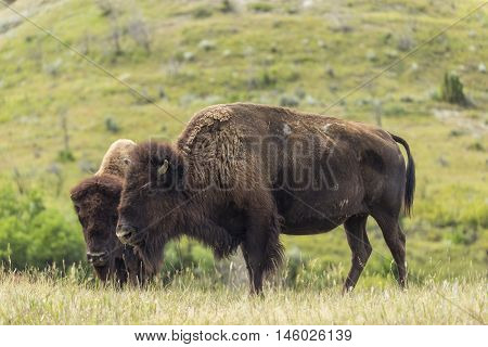 Wild buffalo in the grassy landscape of North Dakota.