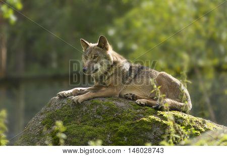 Grey Wolf (canis Lupus) Portrait - Captive Animalgrey Wolf (canis Lupus) Portrait - Captive Animal