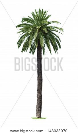 Palm tree isolated on a white background