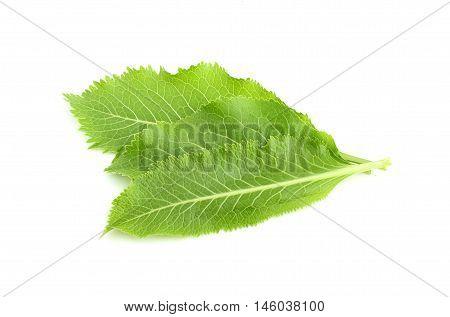 Fresh horseradish leaves isolated on white background.