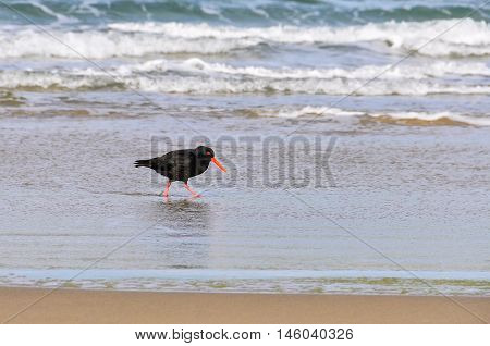 Bird On The Beach In Southern Scenic Route, New Zealand