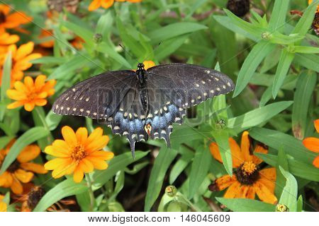 Butterfly, Spicebush Swallowtail , Swallowtail, beauty, nature,
