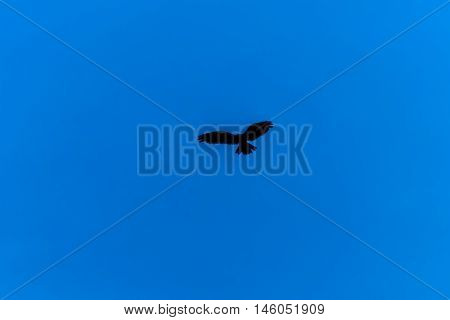 Silhouette of flying bird in clear blue sky