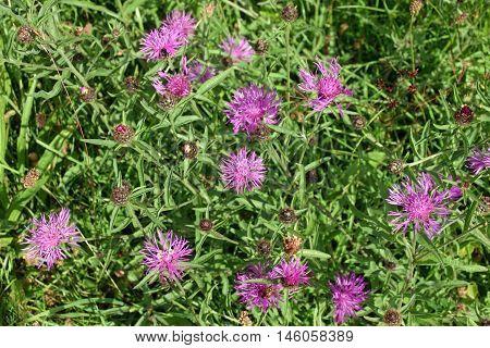 Greater Knapweed Flowers