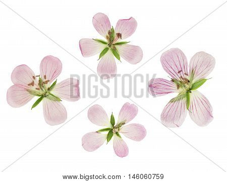 Pressed and dried flowers siberian geranium (geranium sibiricum). Isolated on white background. For use in scrapbooking floristry (oshibana) or herbarium.