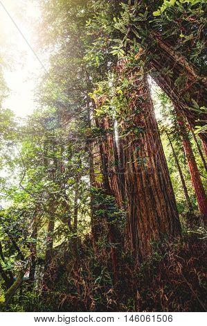 Redwoods in California - Shots of Muir woods park