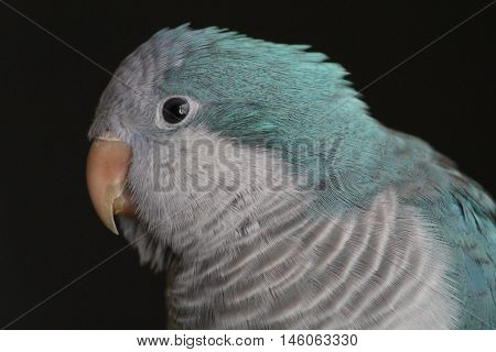 Closeup of pet turquoise Quaker parrot head