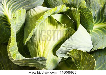 fresh ripe cabbage on the garden bed