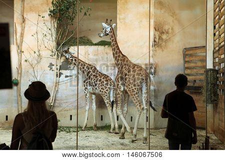 PRAGUE, CZECH REPUBLIC - JUNE 2, 2015: Visitors look at the Rothschild's giraffes (Giraffa camelopardalis rothschildi) at Prague Zoo, Czech Republic.