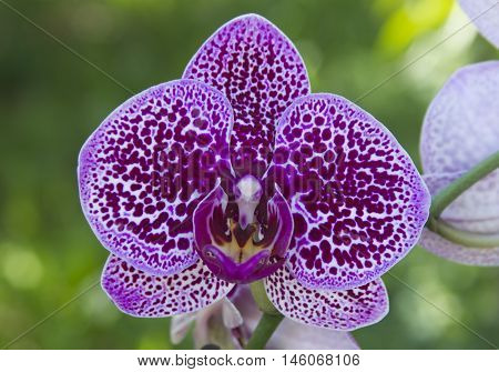 Beautiful orchid Dulcimer - one flower on tbe green backgruond